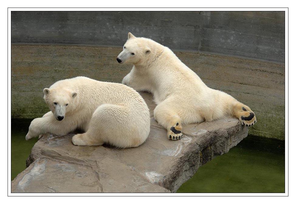 Eisbären lieben keine Sommerhitze...