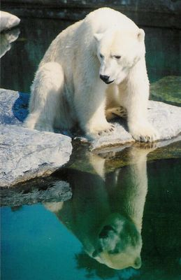 Eisbären müssen nie weinen