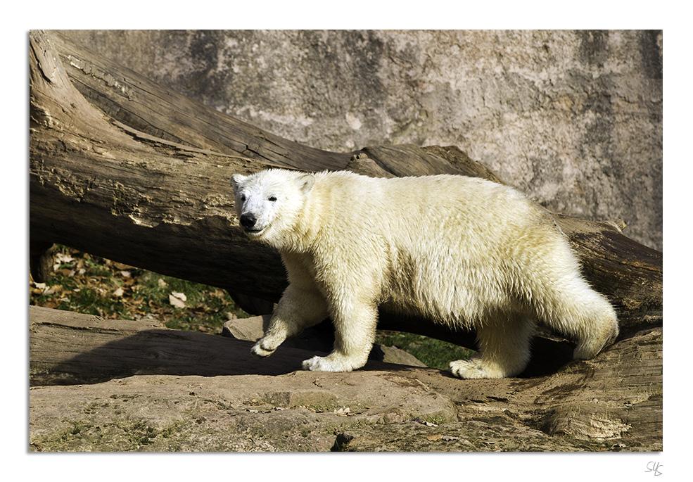 Eisbären Nürnberg I