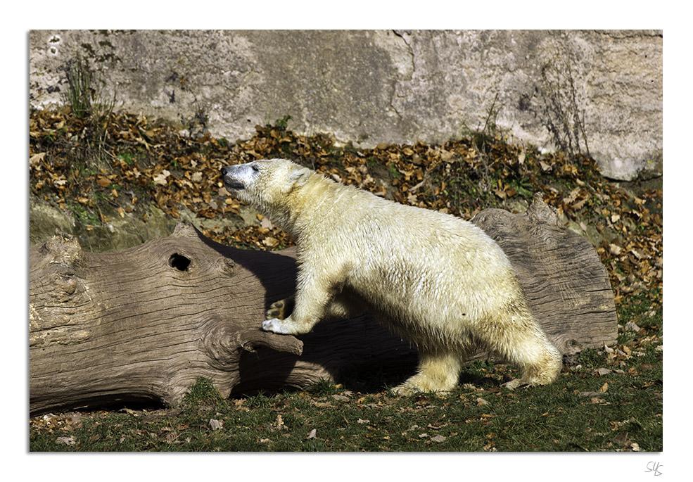 Eisbären Nürnberg IV