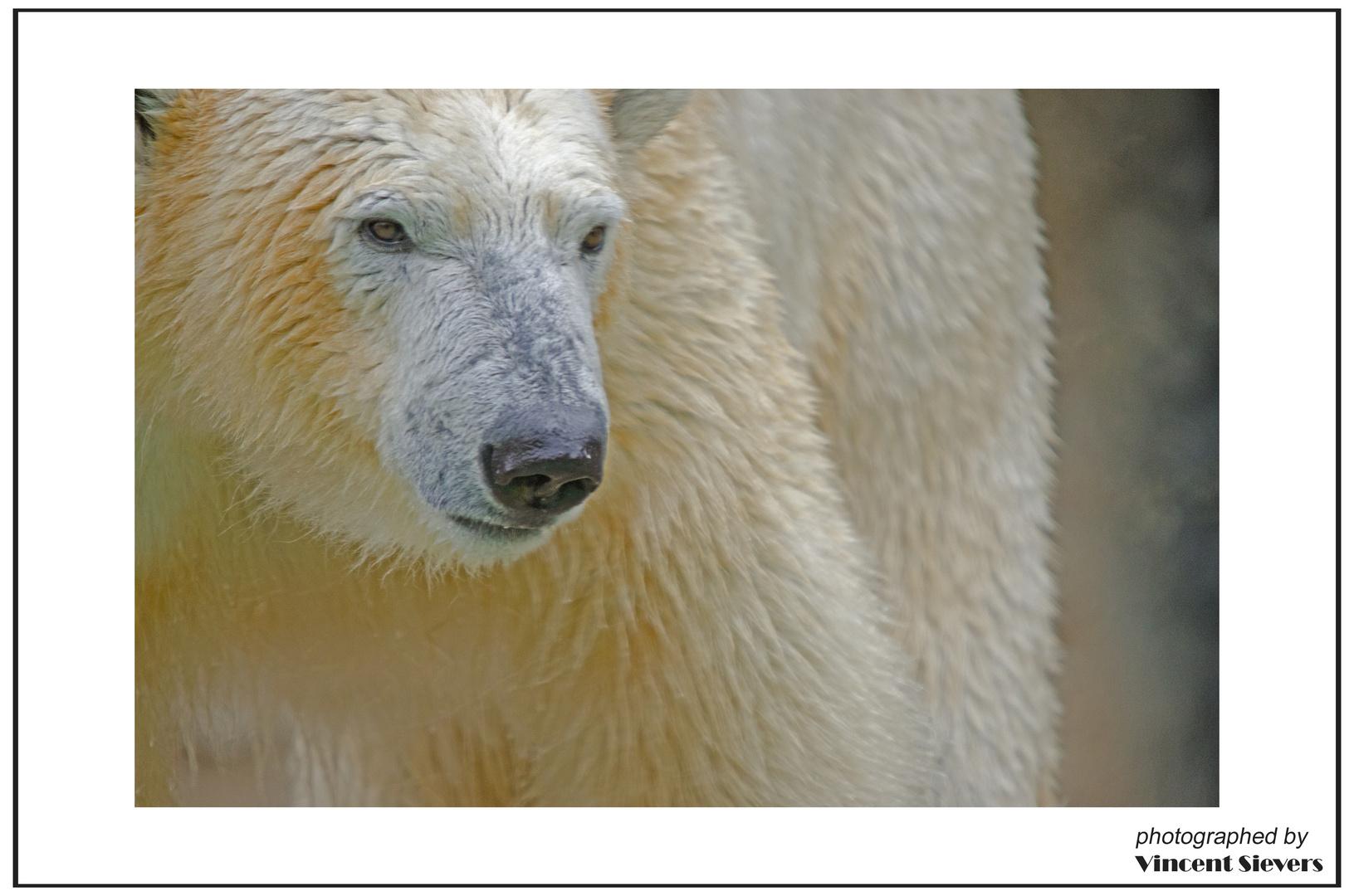 Eisbären Portrait im Münchener Zoo