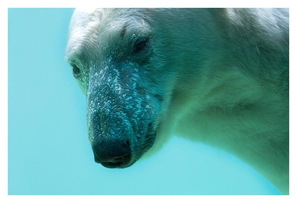 Eisbären-Portrait im Wuppertaler Zoo