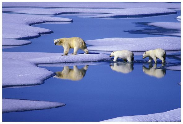 Eisbärenfamilie
