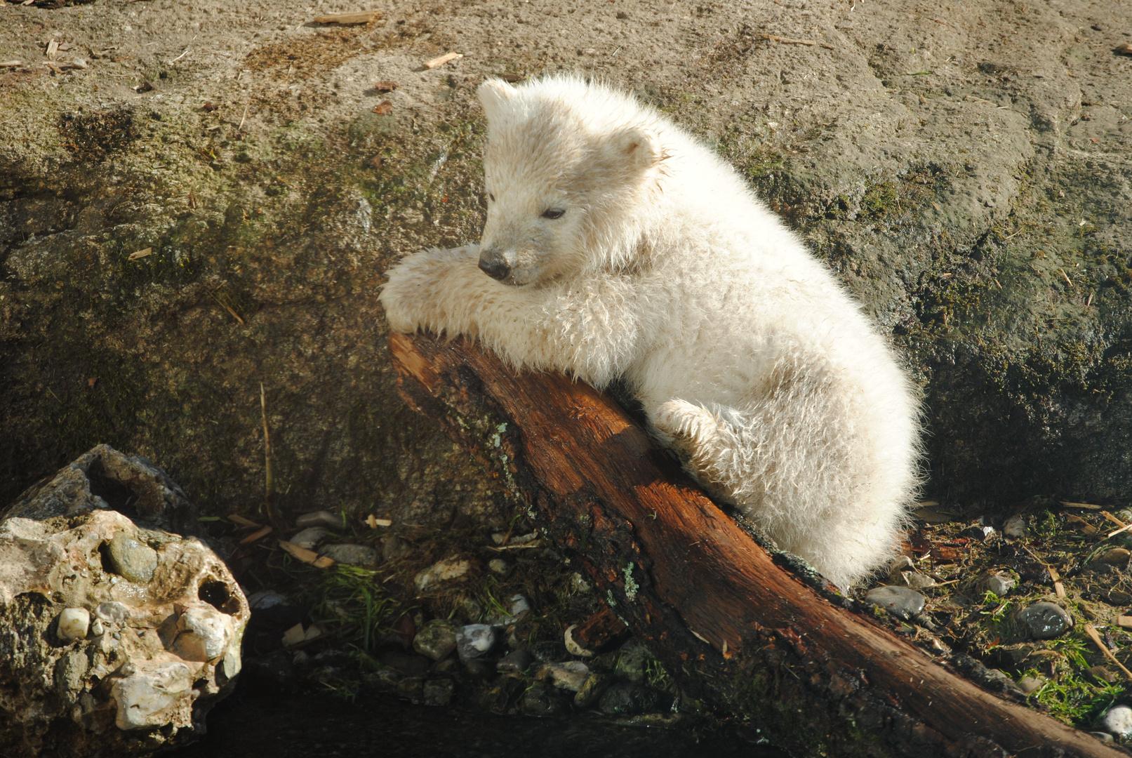 Eisbärenjunges Zoo München