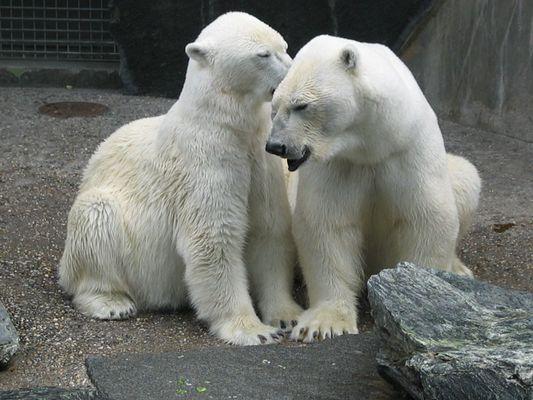 Eisbärenliebe