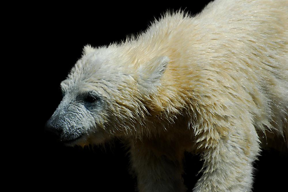 Eisbärennachwuchs in Nürnberg