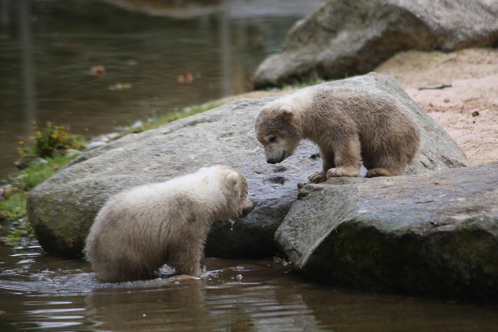 Eisbärnachwuchs