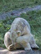 Eisbär....so schüchtern!