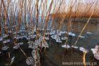 Eisbildung am Schilfstengel Bodensee