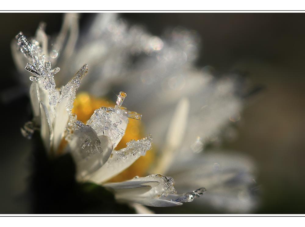 Eisblümchen