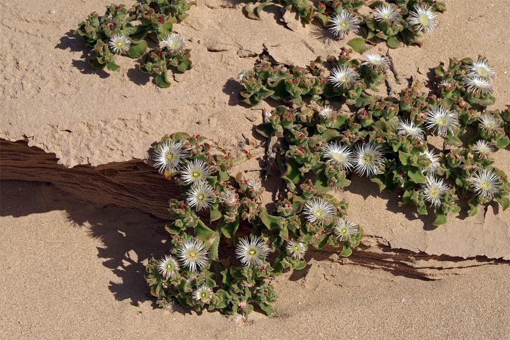 Eisblume Mesembryanthemum crystallinum