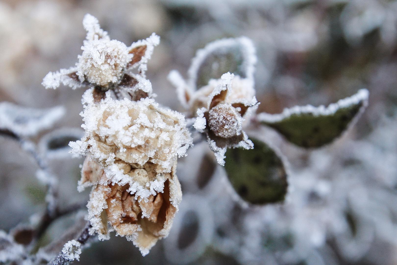 eisblumen foto bild pflanzen pilze flechten pflanzen im winter schnee bilder auf. Black Bedroom Furniture Sets. Home Design Ideas