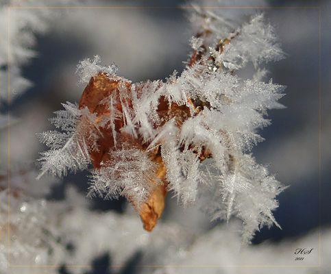 Eisblumen am verwelkten Rosenblatt