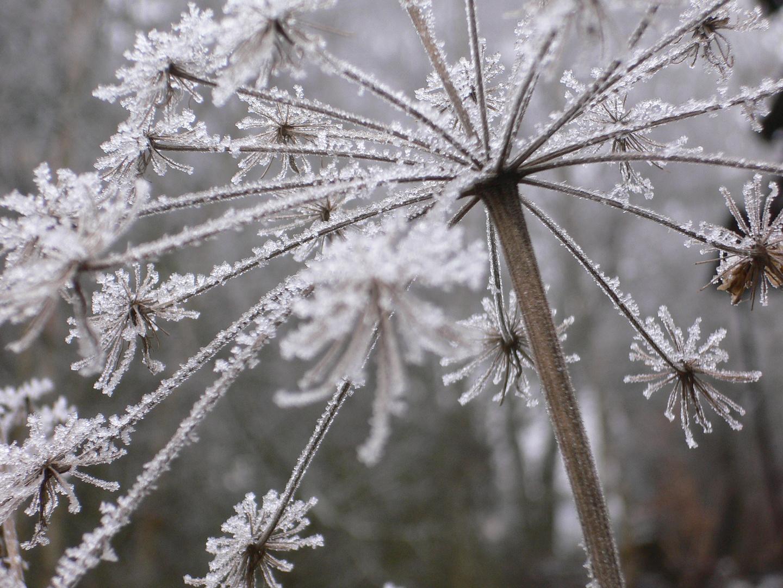 eisblumen foto bild pflanzen pilze flechten pflanzen im winter natur bilder auf. Black Bedroom Furniture Sets. Home Design Ideas