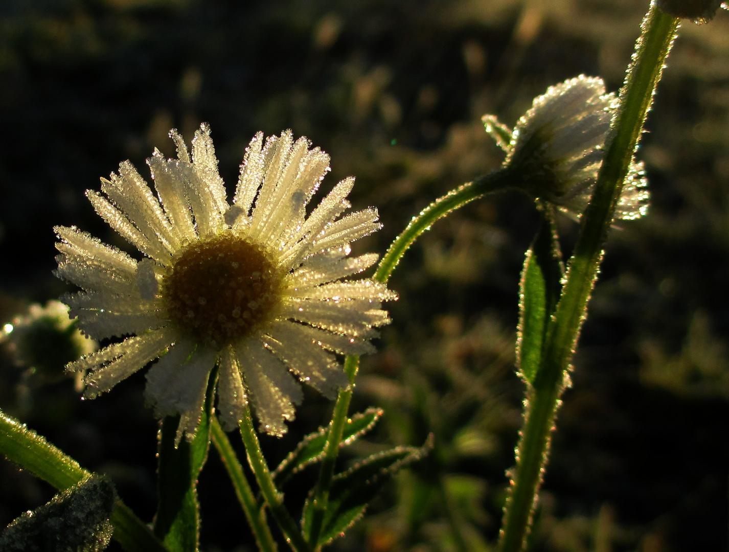 """""""Eisblumen"""", der erste richtige Frost 1"""