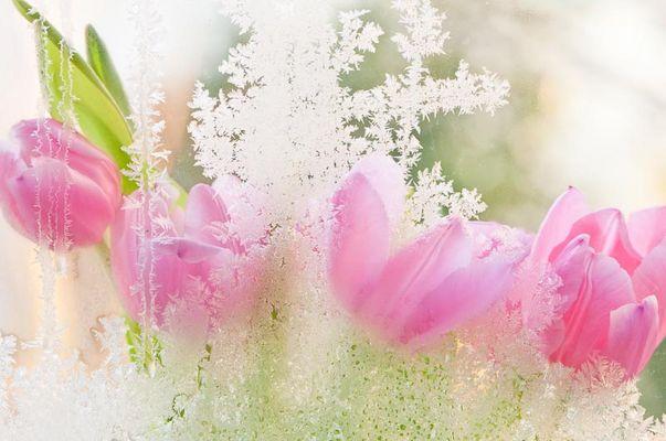 Eisblumen vs Frühlingstulpen