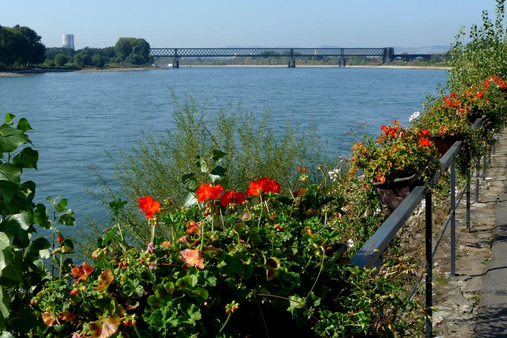 Eisenbahnbrücke über den Rhein bei Urmitz / Rh.