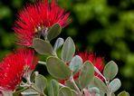 Eisenholzbaum in Blüte