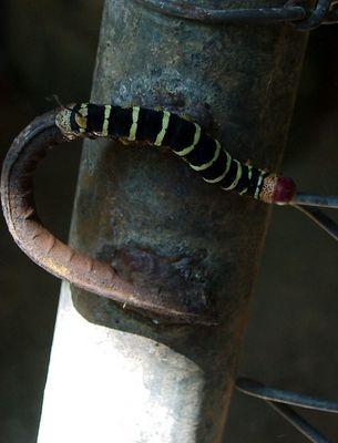 Eisenwurm