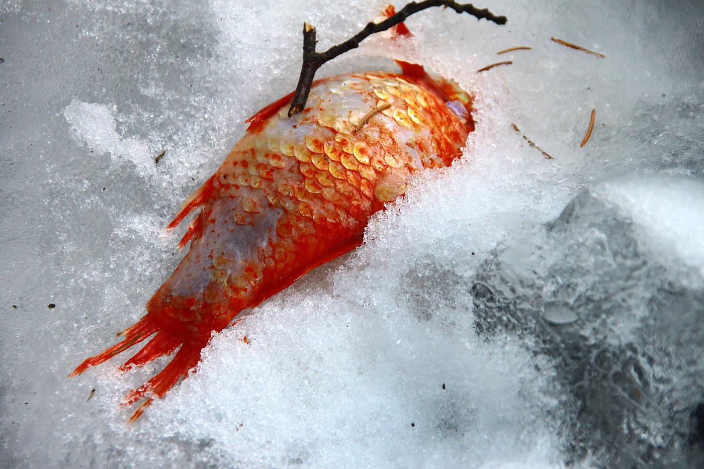 Eisfisch