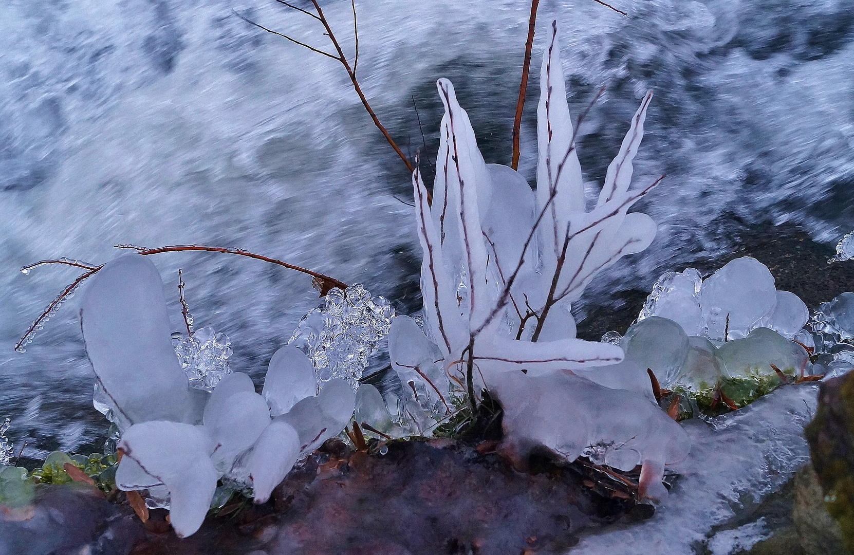 Eisgewächse