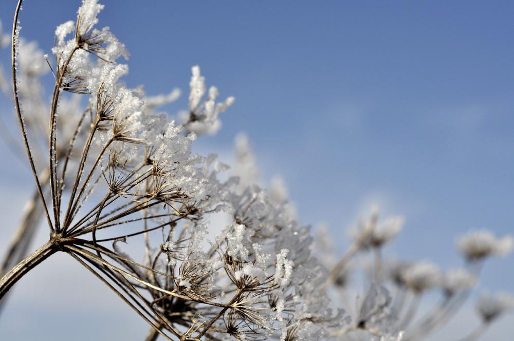eisige Blüten