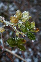 Eisige Frostblätter...