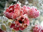 eisiger Morgen - Rosen
