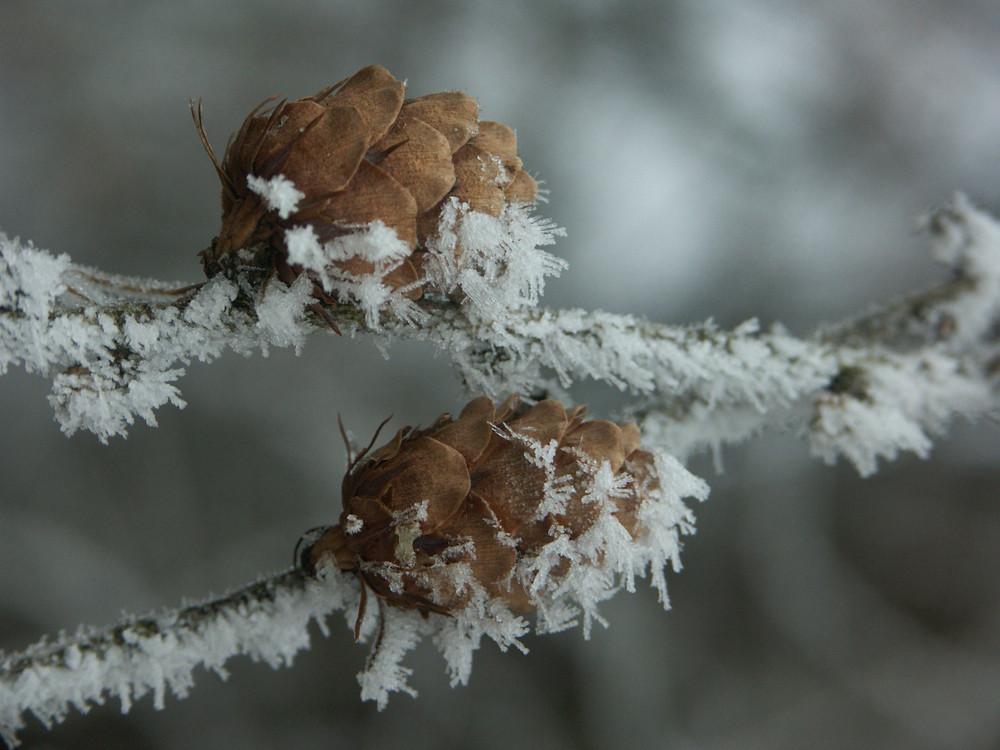Eiskristalle auf den Lärchenzapfen
