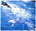 Eissturmvogel im Aufwind (Er ist größer als Ihr glaubt!)
