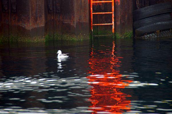 Eissturmvogel im Hafenbecken von Husavik, Island