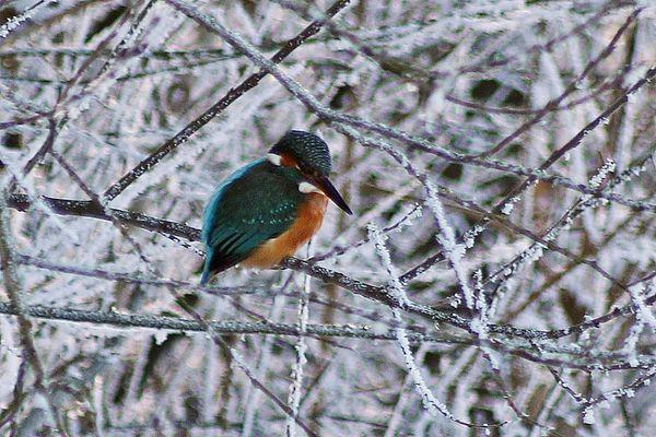 Eisvögel im Winter