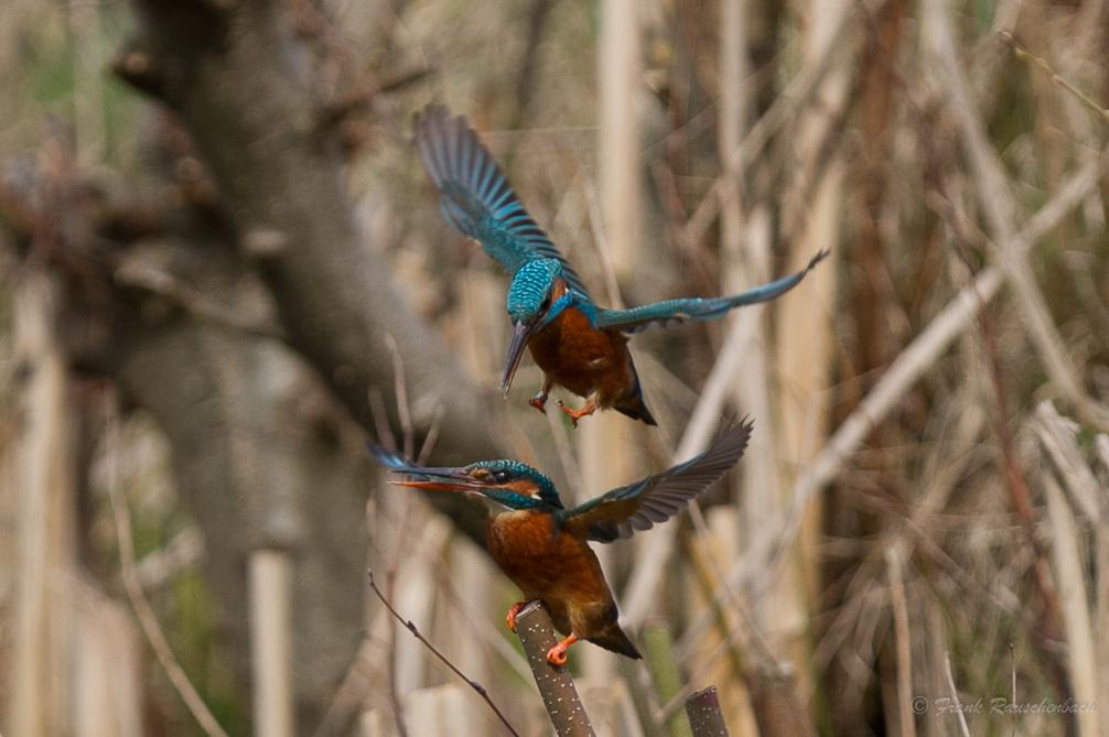 Eisvögel kurz vor der Paarung