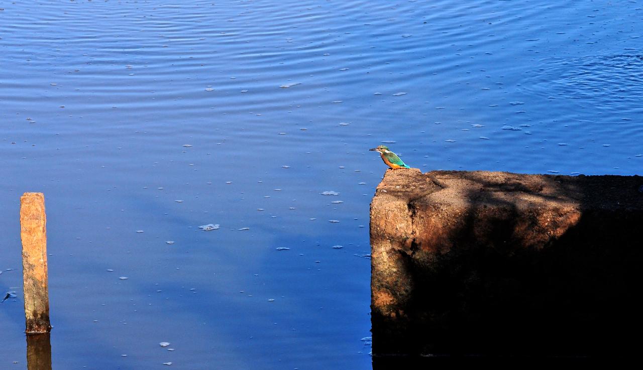 Eisvogel am Morgen