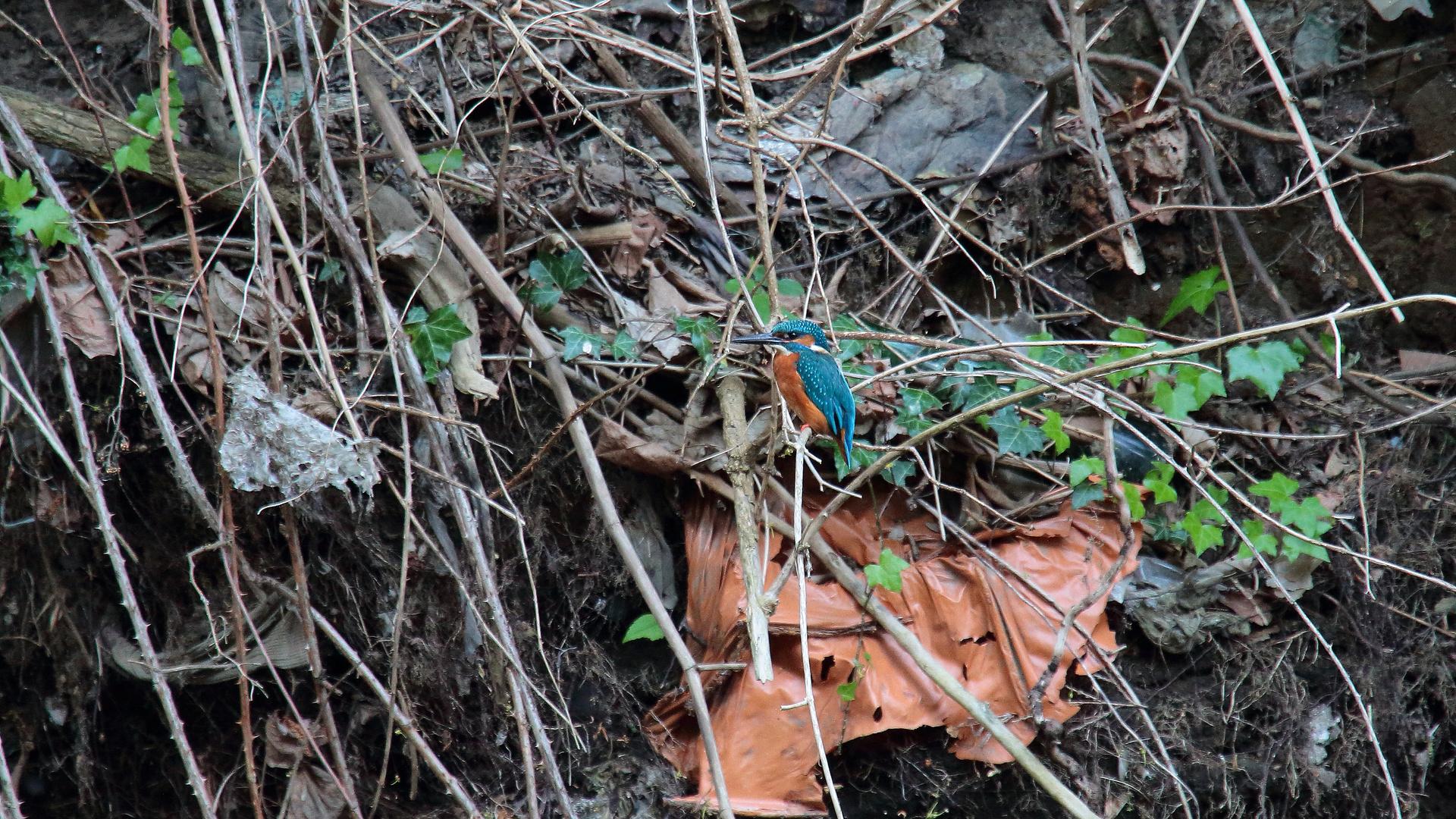 Eisvogel im Müllhaufen 01