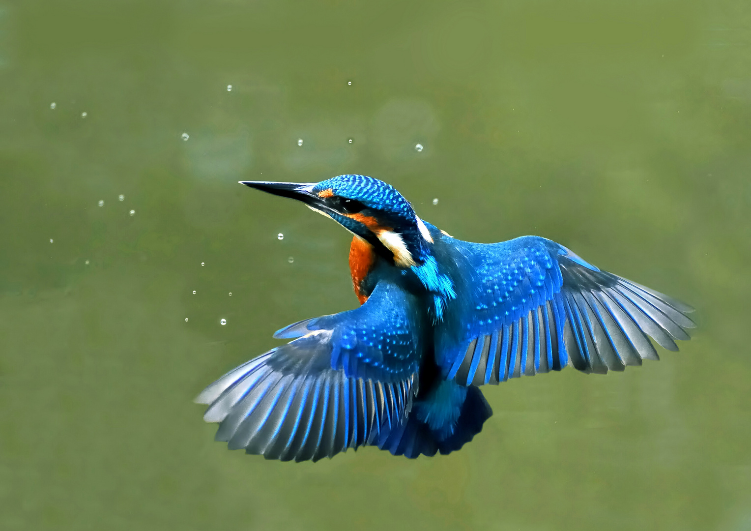 Eisvogel im Schwebflug