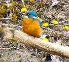 Eisvogel im werdenden Frühling