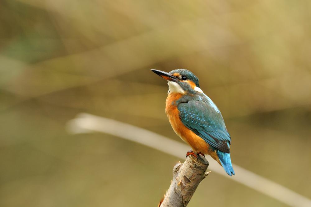 Eisvogel ( Kingfisher )