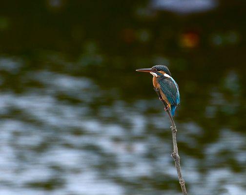 Eisvogel - Sungei Buloh Wetland Reserve / Singapur