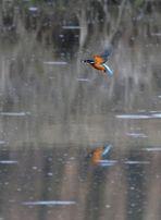 Eisvogel über Wasser mit Fisch (Dokubild)