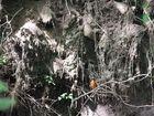 Eisvogel vor Bruthöhle