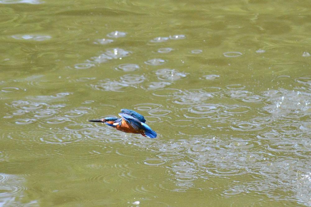 Eisvogelflug