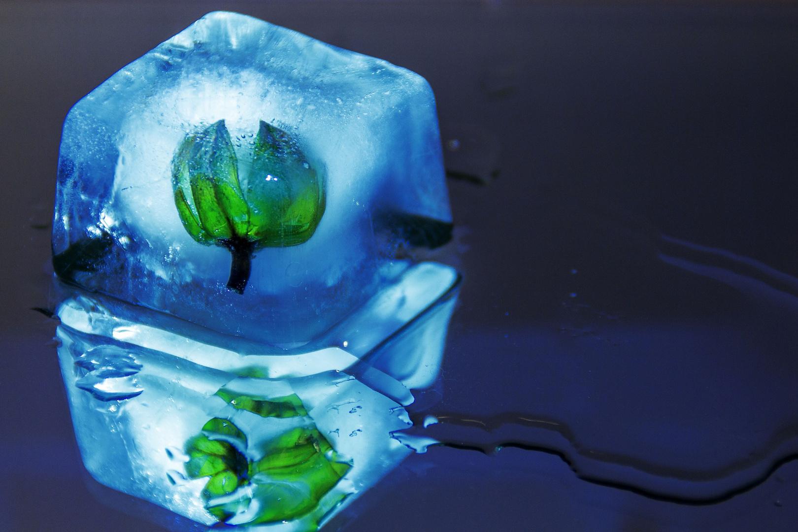 Eiswürfel umschließt eine Knospe...