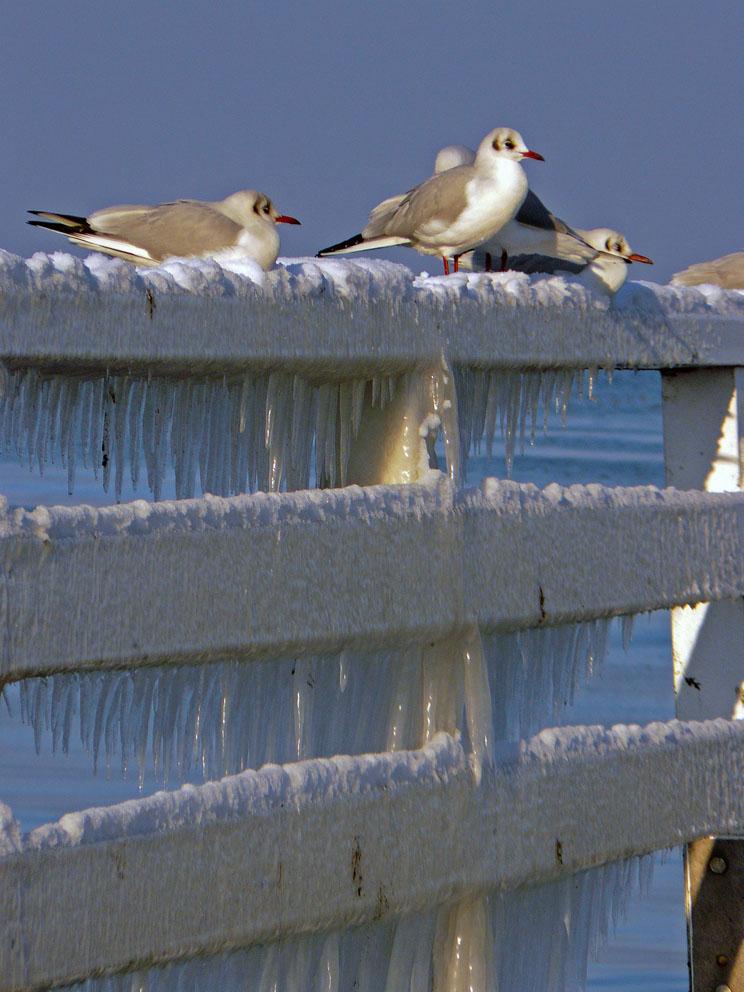 Eiszeit für die Niendorfer Möwen