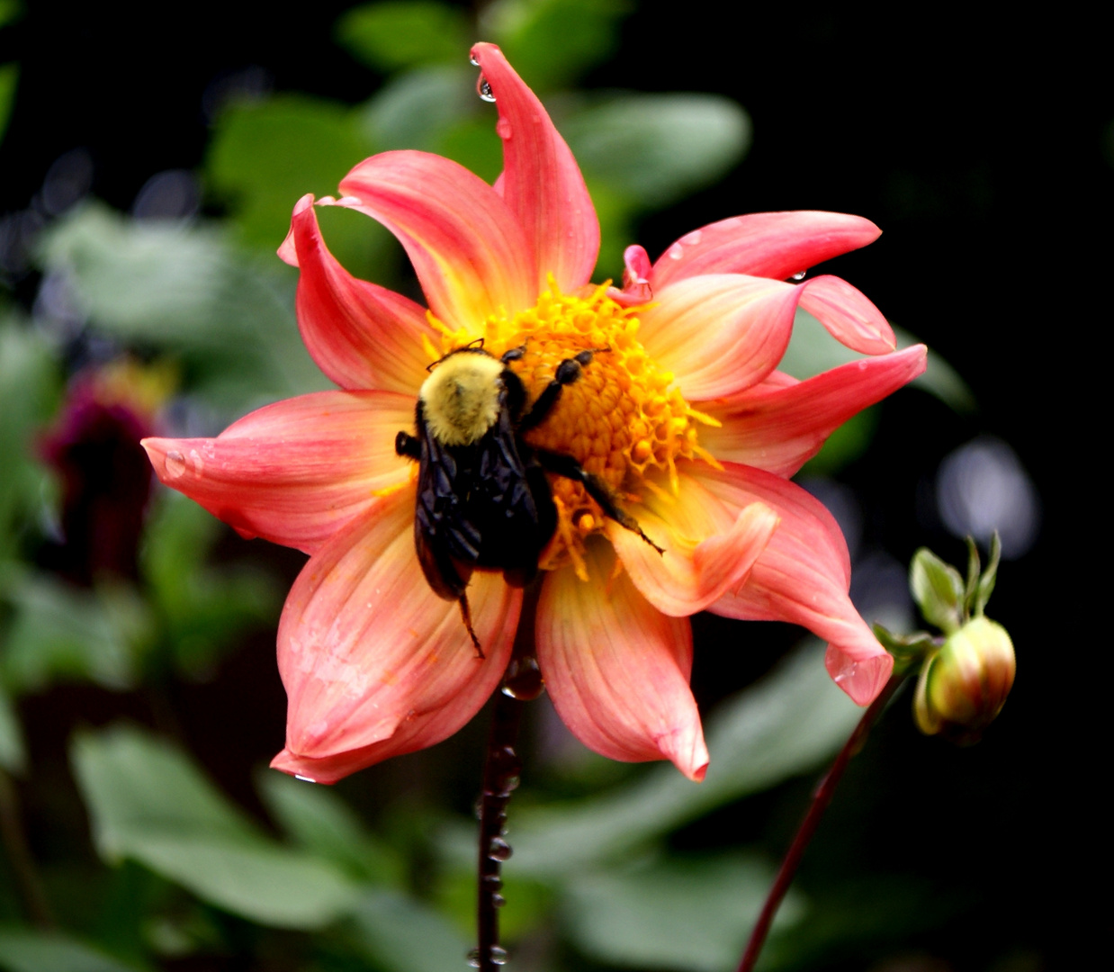 el abejorro.