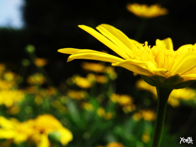 el amarillo de floriana