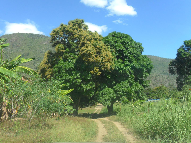 El árbol del mango en Puerto Ocopa -Satipo - Junín