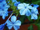 El azul de las flores