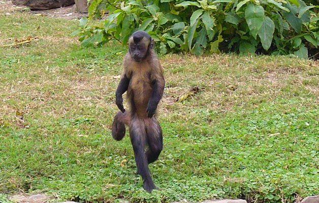El Baile del Mono