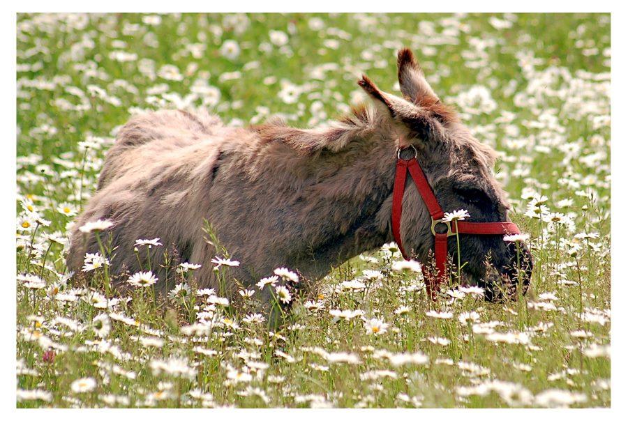 el burro en hierba